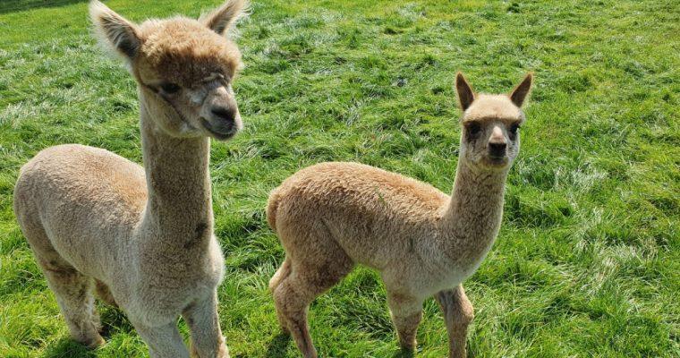 Alpacafarm Vorstenbosch, een keer iets anders dan de kinderboerderij