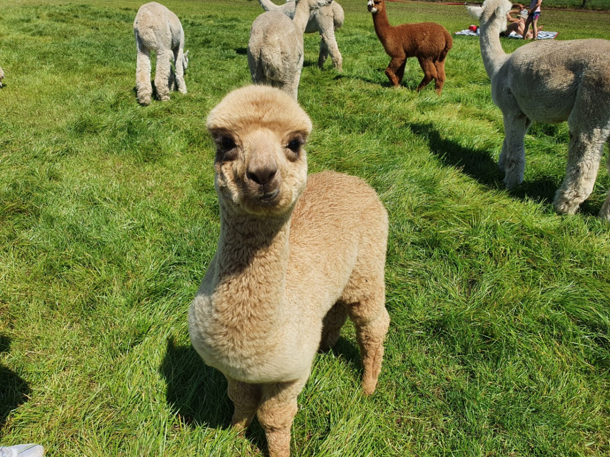 Alpacafarm in Nederland