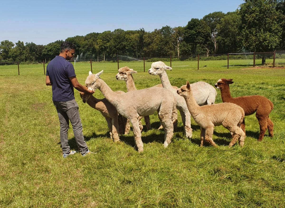 Alpaca's voeren op de alpacafarm