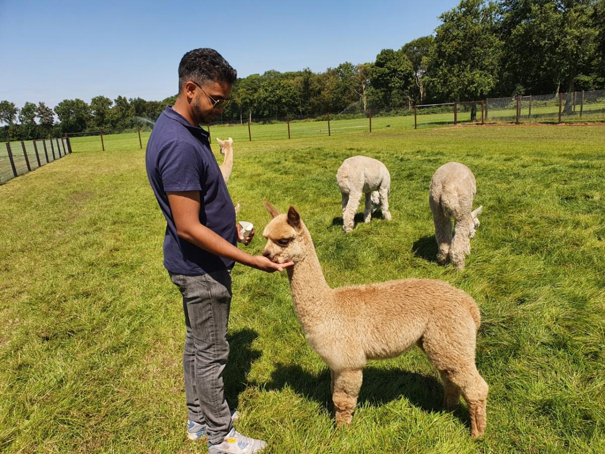 Baby alpaca's op de alpacafarm