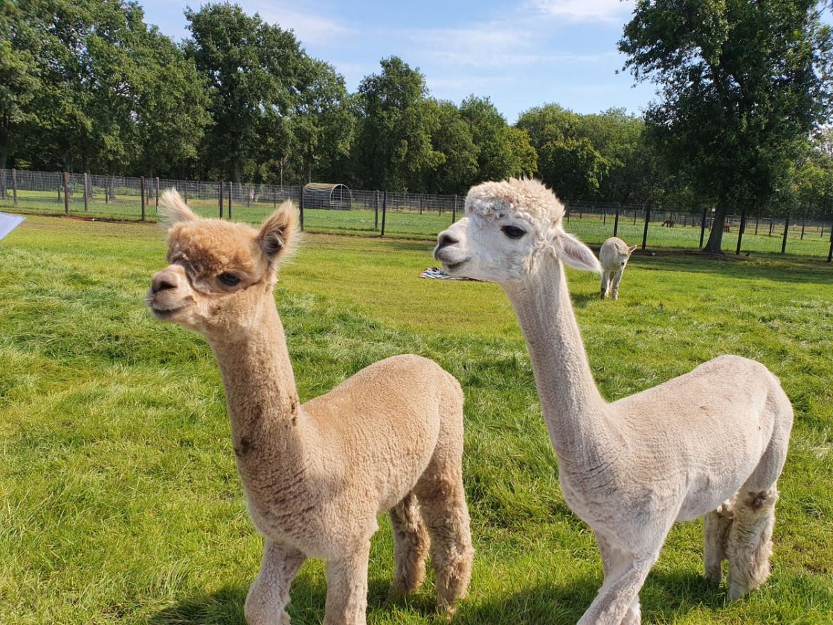 Alpacafarm, leuk uitje in Nederland